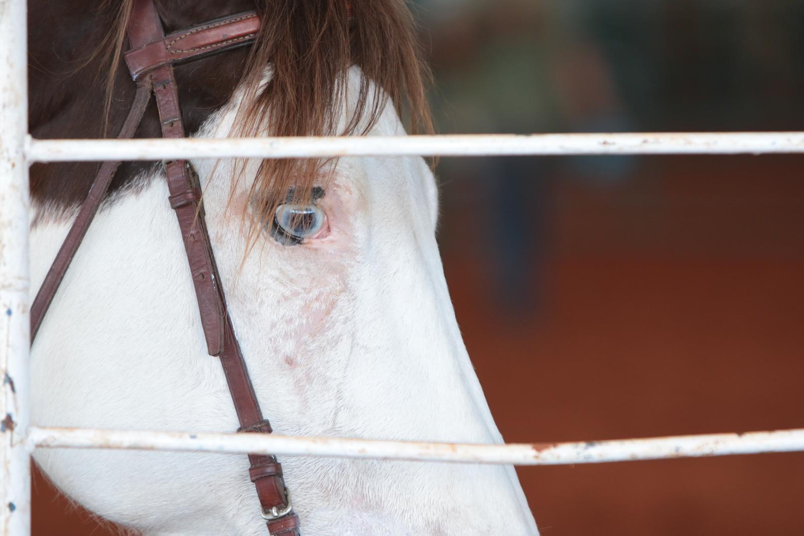 Leilões vão apresentando liquidez e retomando força da Raça Paint Horse