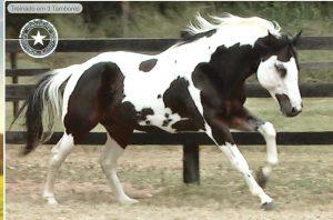 204º Leilão Virtual Collection tem excelente liquidez e mostra ótimo momento da Raça Paint Horse