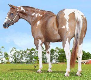Raça Paint Horse tem novo recorde de preço em comercialização de embrião no Brasil
