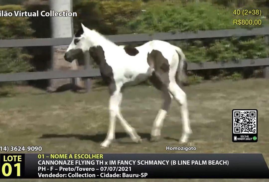 ANIMAIS PAINT HORSE SÃO DESTAQUE NO 217º LEILÃO VIRTUAL COLLECTION