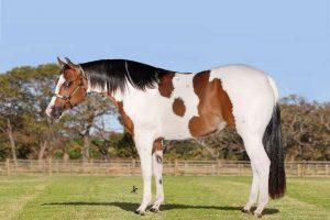 ANIMAIS DA RAÇA PAINT HORSE SE DESTACAM NO LEILÃO JATOBÁ OPORTUNITY HORSE