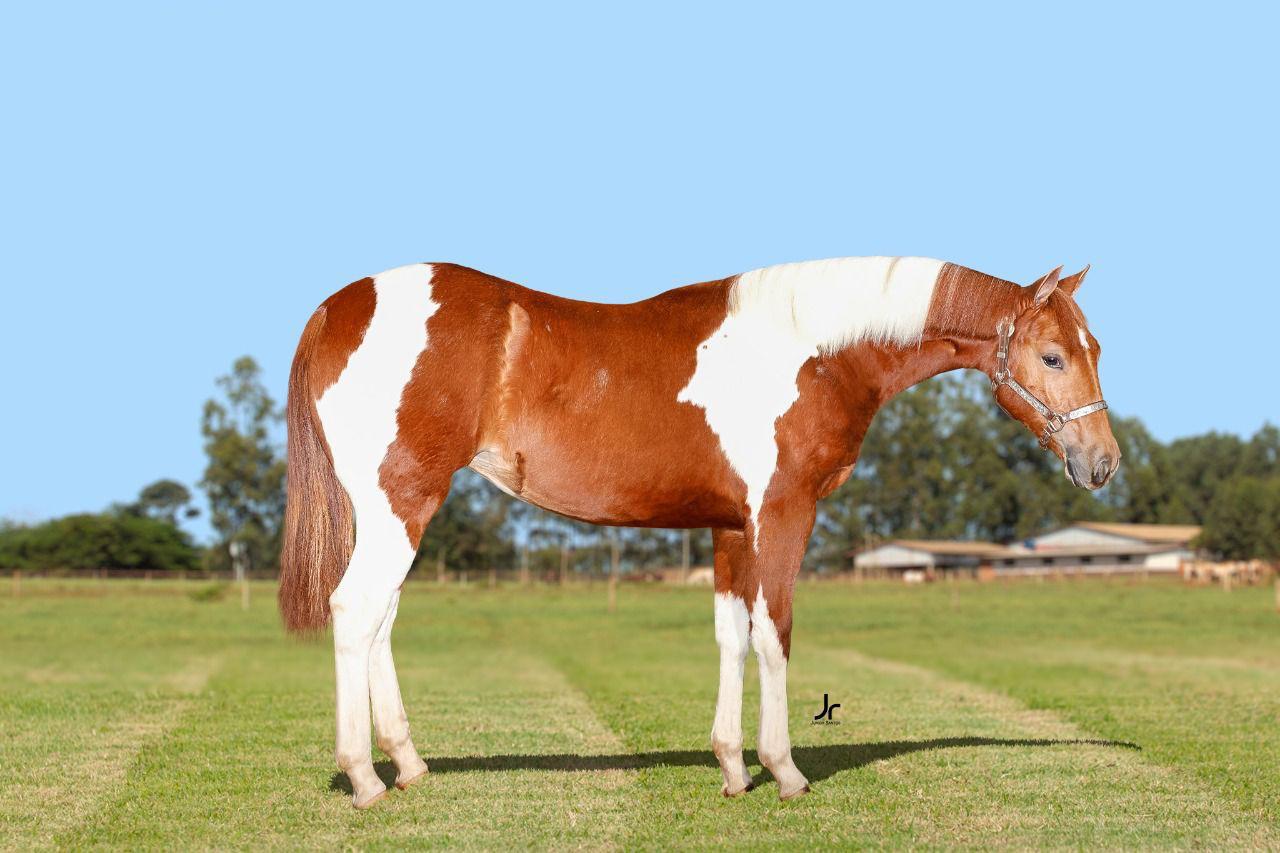 Potra Baby da Raça Paint Horse é vendida por preço recorde