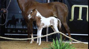 Potra Paint Horse bate recorde nacional em leilão